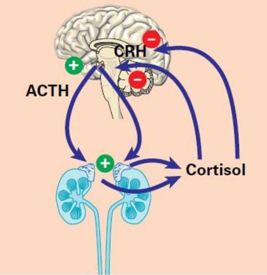 Что такое кортизол?